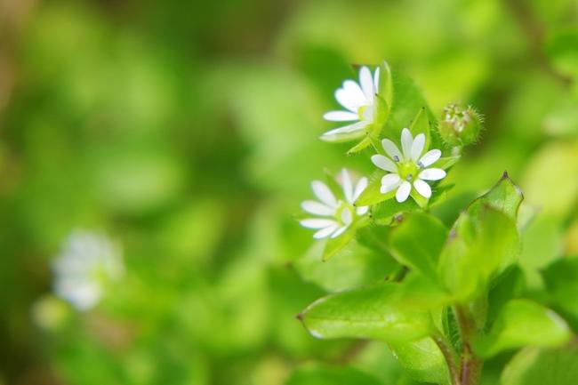 ハコベの花