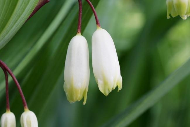 アマドコロ茶の花