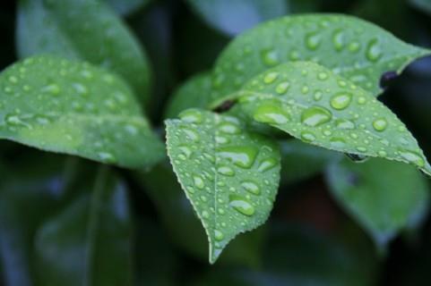 つばき茶 椿の葉
