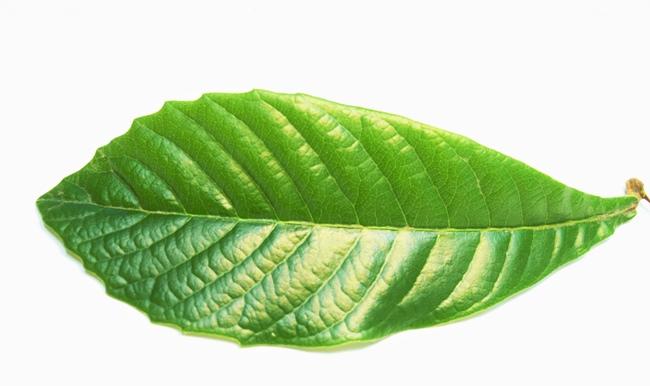 ビワの葉 (2)